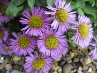 Erigeron glaucus Sea Breeze - 9cm pot