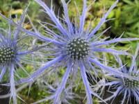 Eryngium Pen Blue - 9cm pot