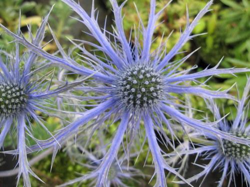 Eryngium 'Pen Blue' - 9cm pot