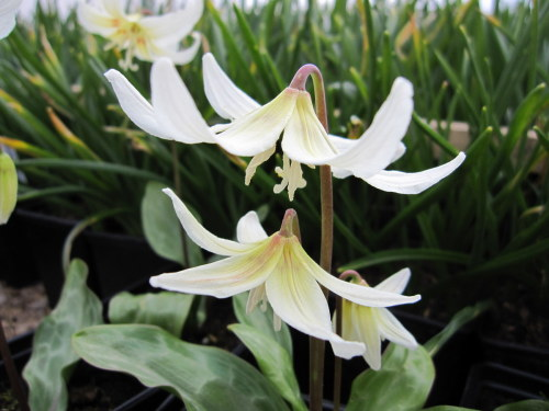 Erythronium californicum 'White Beauty' - 9cm pot