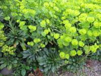 Euphorbia amygdaloides var. robbiae - 9cm pot