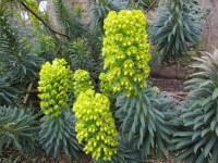 Euphorbia characias ssp. wulfenii - 9cm pot