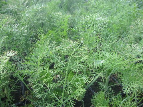 Fennel, Green - 9cm pot