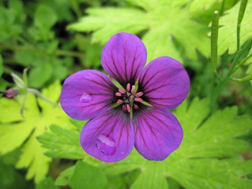 Geranium 'Ann Folkard' - 9cm pot