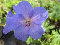 Geranium Johnson's Blue - 2 litre pot