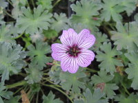 Geranium (Cinereum Group) Ballerina - 9cm pot