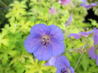 Geranium Blue Sunrise - 9cm pot