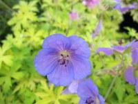 Geranium Blue Sunrise - 9cm pot