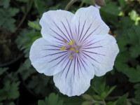 Geranium himalayense Derrick Cook - 2 litre pot