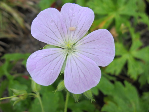 Geranium maculatum 'Beth Chatto' - 2 litre pot