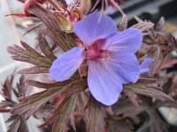 Geranium pratense Midnight Reiter strain - 9cm pot