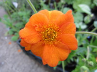 Geum Prinses Juliana - 2 litre pot
