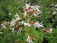 Gillenia trifoliata - 2 litre pot