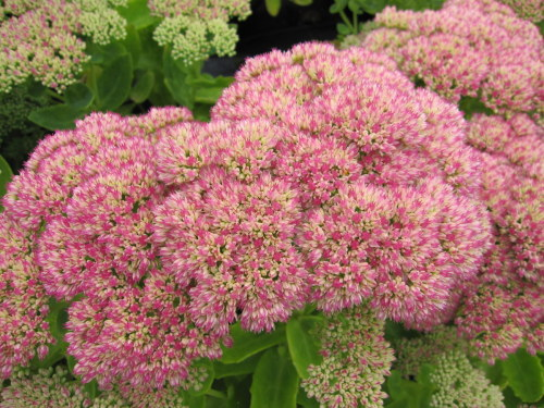 Sedum 'Herbstfreude' (Autumn Joy) - 9cm pot
