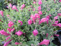 Scutellaria suffrutescens Texas Rose - 9cm pot
