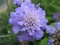 Scabiosa Butterfly Blue - 2 litre pot