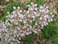 Saxifraga Southside Seedling Group - 9cm pot