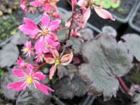Saxifraga Black Ruby (fortunei) - 9cm pot