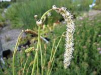 Sanguisorba tenuifolia var. alba - 9cm pot