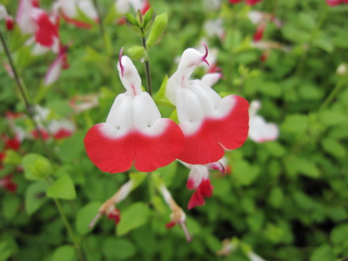 Salvia x jamensis 'Hot Lips' - 2 litre pot