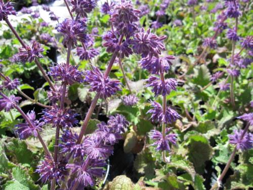 Salvia verticillata 'Purple Rain' - 2 litre pot