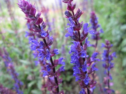 Salvia nemorosa 'Caradonna' - 2 litre pot