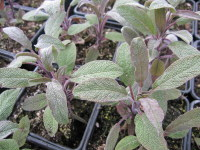 Sage, Purple - 9cm pot