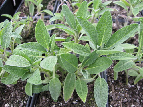 Sage, Common - 9cm pot