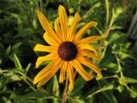 Rudbeckia fulgida var. sullivantii Goldsturm - 2 litre pot