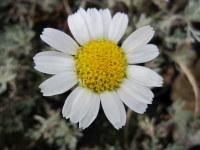 Rhodanthemum hosmariense - 9cm pot