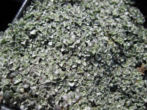 Raoulia australis - 9cm pot