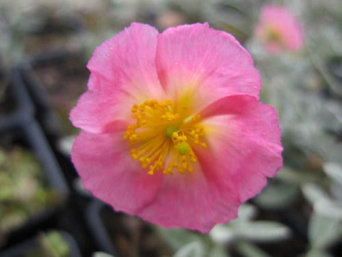Helianthemum 'Rhodanthe Carneum' (Wisley Pink) - 9cm pot