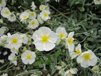 Helianthemum The Bride - 9cm pot