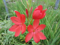 Hesperantha (Schizostylis) coccinea Major - 9cm pot