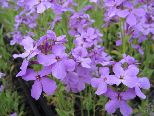 Hesperis matronalis - 9cm pot