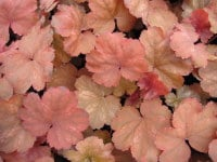 Heuchera Cherry Cola - 9cm pot