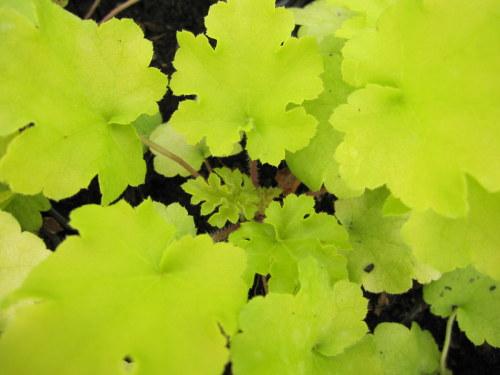 Heuchera 'Lime Marmalade' - 9cm pot