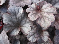 Heuchera Plum Pudding - 9cm pot