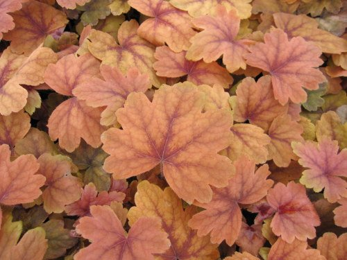 Heucherella 'Sweet Tea' - 9cm pot