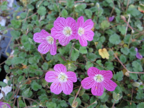 Erodium x variabile 'Bishop's Form' - 9cm pot