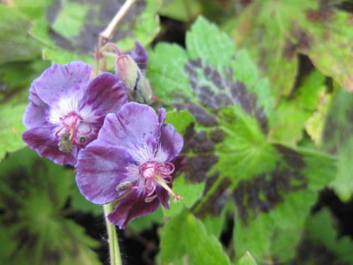 Geranium phaeum var. phaeum 'Samobor' - 2 litre pot