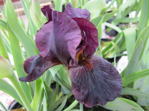 Iris 'Langport Wren' (Intermediate Bearded) - 3 litre pot