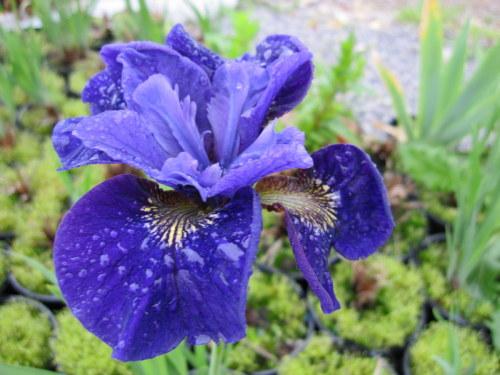 Iris sibirica 'Ruffled Velvet' - 2 litre pot