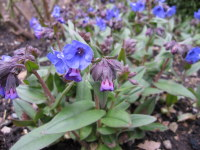 Pulmonaria Blue Ensign - 9cm pot