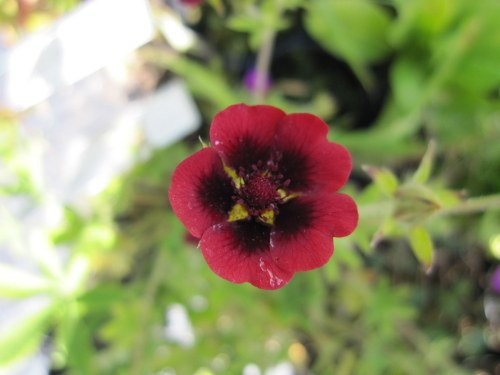 Potentilla thurberi 'Monarch's Velvet' - 9cm pot