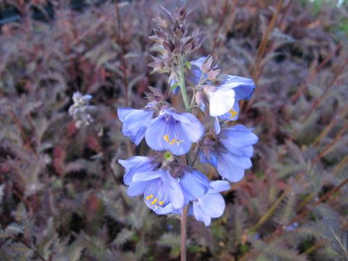 Polemonium yezoense var. hidakanum Bressingham Purple - 9cm pot