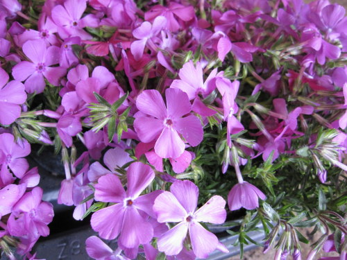 Phlox subulata 'McDaniel's Cushion' - 9cm pot