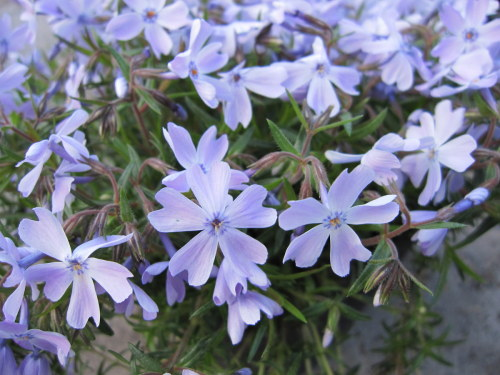Phlox subulata 'Emerald Cushion' - 9cm pot