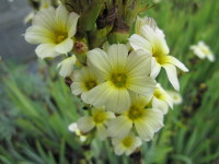 Sisyrinchium striatum - 9cm pot