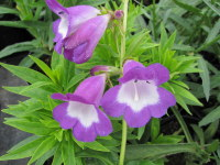 Penstemon Pensham Czar - 2 litre pot